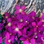 46898_Purple Clematis.jpg