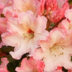 54173_Rhododendron Blossoms.jpg