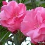 گلهای-سمی.jpg