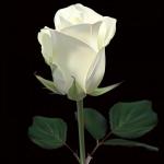 عکس-گل-رز-سفید-12.jpg