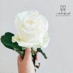 عکس-گل-رز-سفید-11.jpg