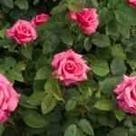 Rosa hybrida 5.jpg