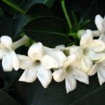 Jasmine-Razaghi-flower-2.jpg