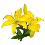 asiatic-lily-600x600.jpg