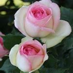 220px-Rosa_'Pierre_de_Ronsard'.jpg